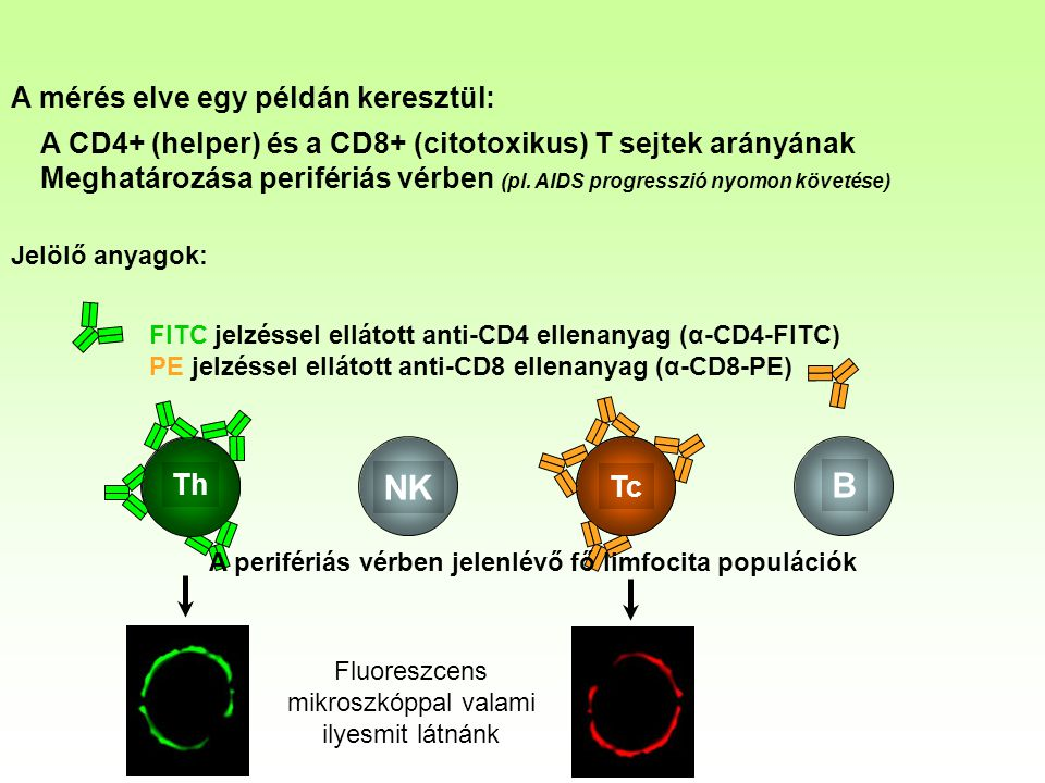 B NK Th Tc A mérés elve egy példán keresztül: A CD4+ (helper) és a CD8+ (citotoxikus) T sejtek arányának Meghatározása perifériás vérben (pl. AIDS pro