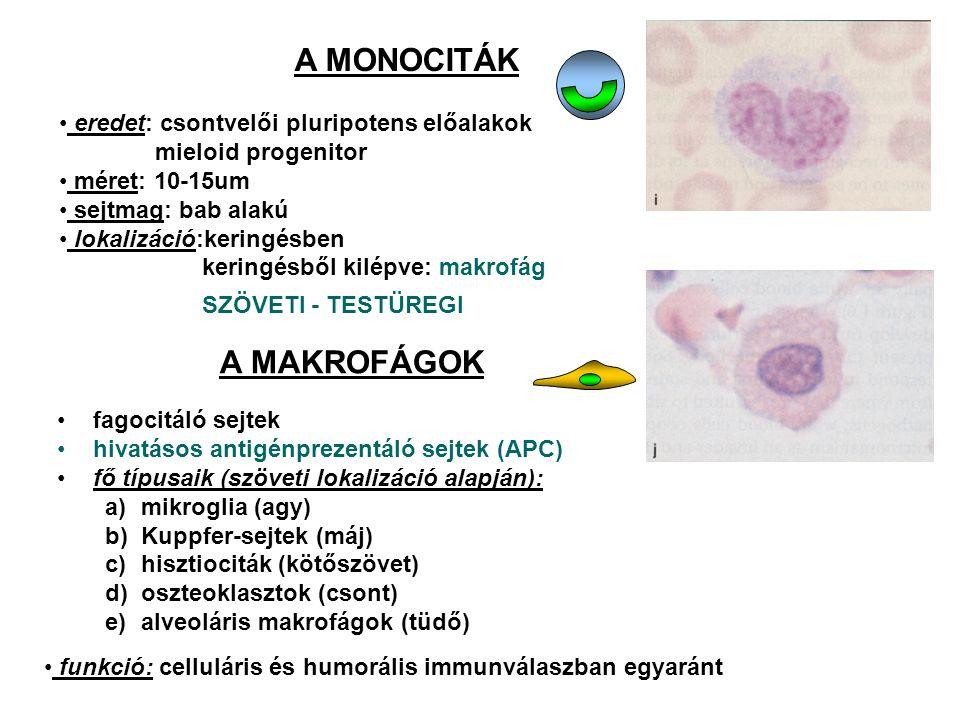 A MONOCITÁK eredet: csontvelői pluripotens előalakok mieloid progenitor méret: 10-15um sejtmag: bab alakú lokalizáció:keringésben keringésből kilépve: