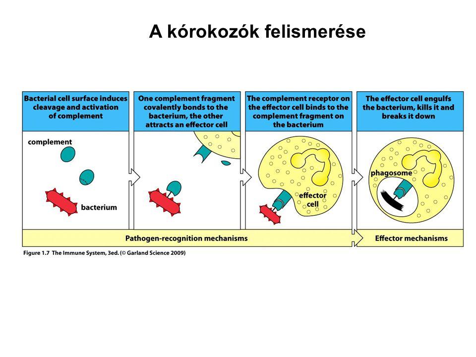 A természetes és adaptív immunitás kiálakulása és együttműködése a kórokozók elleni védekezés folyamatában