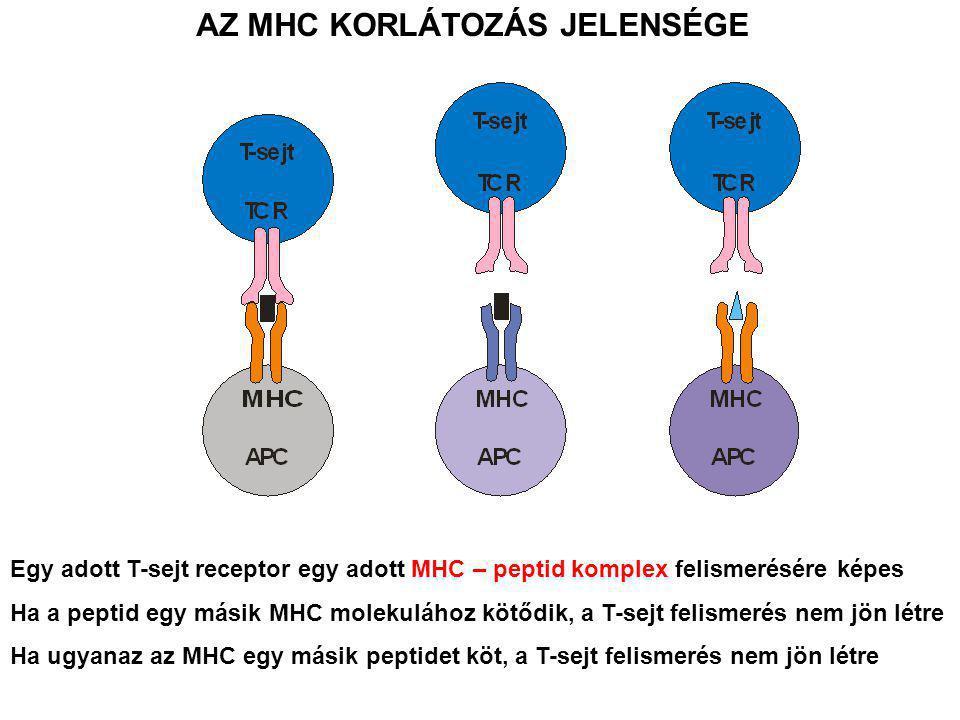 AZ MHC KORLÁTOZÁS JELENSÉGE Egy adott T-sejt receptor egy adott MHC – peptid komplex felismerésére képes Ha a peptid egy másik MHC molekulához kötődik