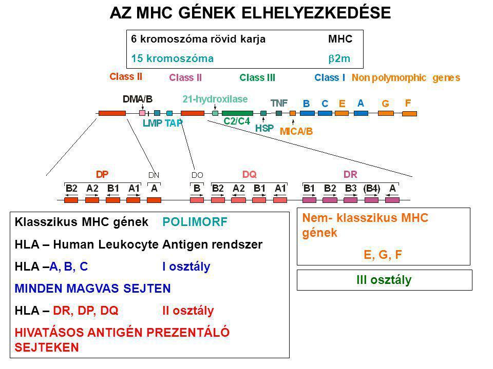 Klasszikus MHC gének POLIMORF HLA – Human Leukocyte Antigen rendszer HLA –A,B, C I osztály MINDEN MAGVAS SEJTEN HLA – DR, DP, DQII osztály HIVATÁSOS A