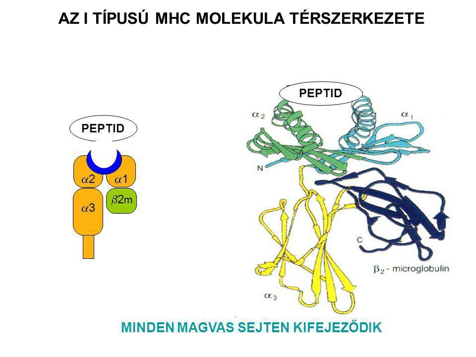 22 11 22 11 PEPTID PEPTIDE A HIVATÁSOS ANTIGÉN PREZENTÁLÓ SEJTEKEN JELENIK MEG MÁS SEJTEKEN IS INDUKÁLHATÓ (endotél, mikroglia, asztocita) AZ II TÍPUSÚ MHC MOLEKULA TÉRSZERKEZETE
