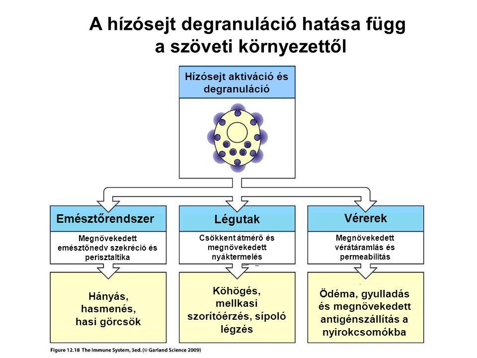 A hízósejt degranuláció hatása függ a szöveti környezettől Hányás, hasmenés, hasi görcsök Köhögés, mellkasi szorítóérzés, sípoló légzés Ödéma, gyullad