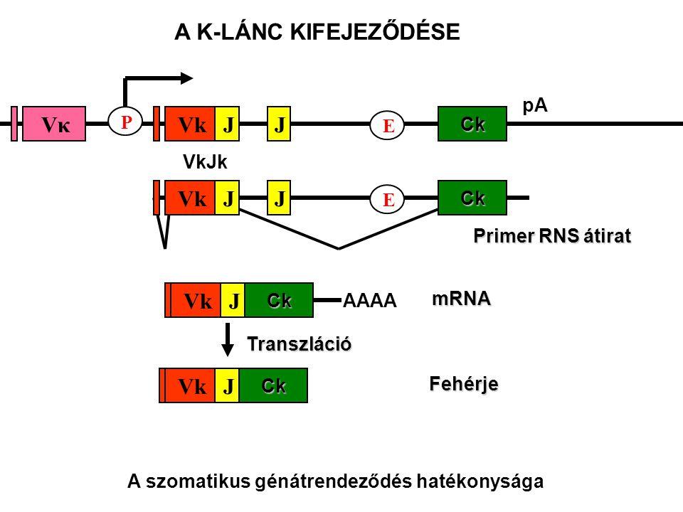 pACk E JJ VkJk VkVκVκ P Primer RNS átirat Ck E JJVk Ck J Fehérje mRNACk J AAAA Transzláció A K-LÁNC KIFEJEZŐDÉSE A szomatikus génátrendeződés hatékonysága