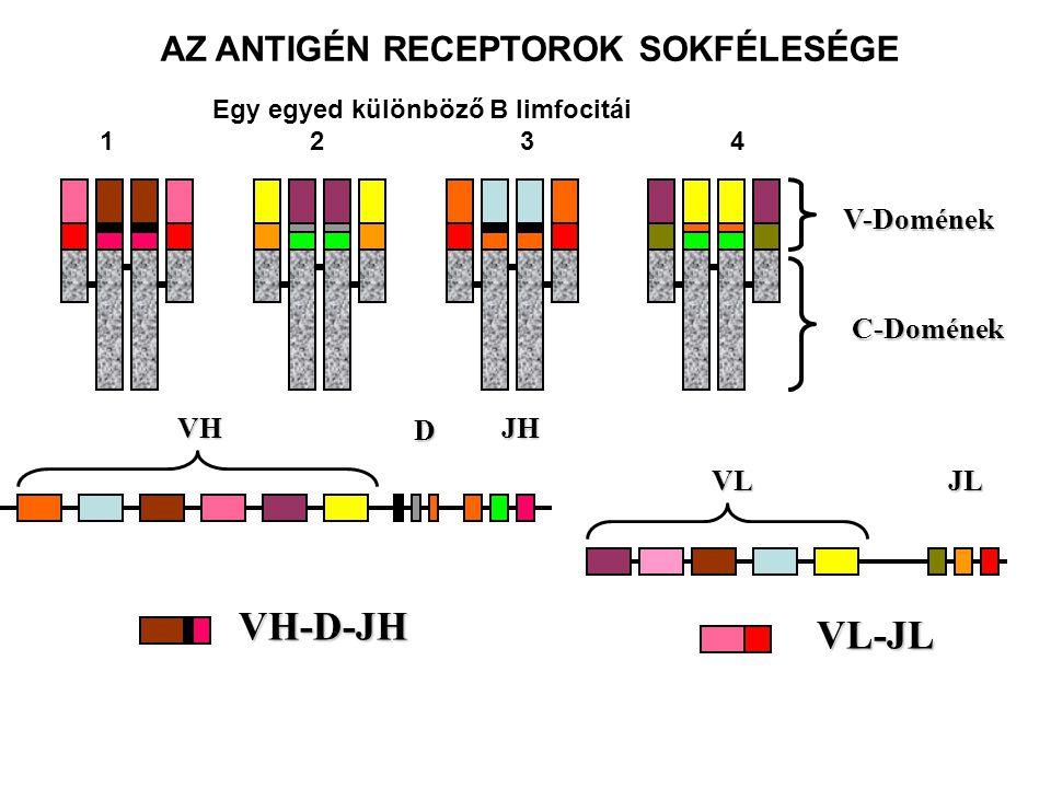 VH D JH VLJL V-Domének C-Domének VH-D-JH VL-JL AZ ANTIGÉN RECEPTOROK SOKFÉLESÉGE Egy egyed különböző B limfocitái 1234