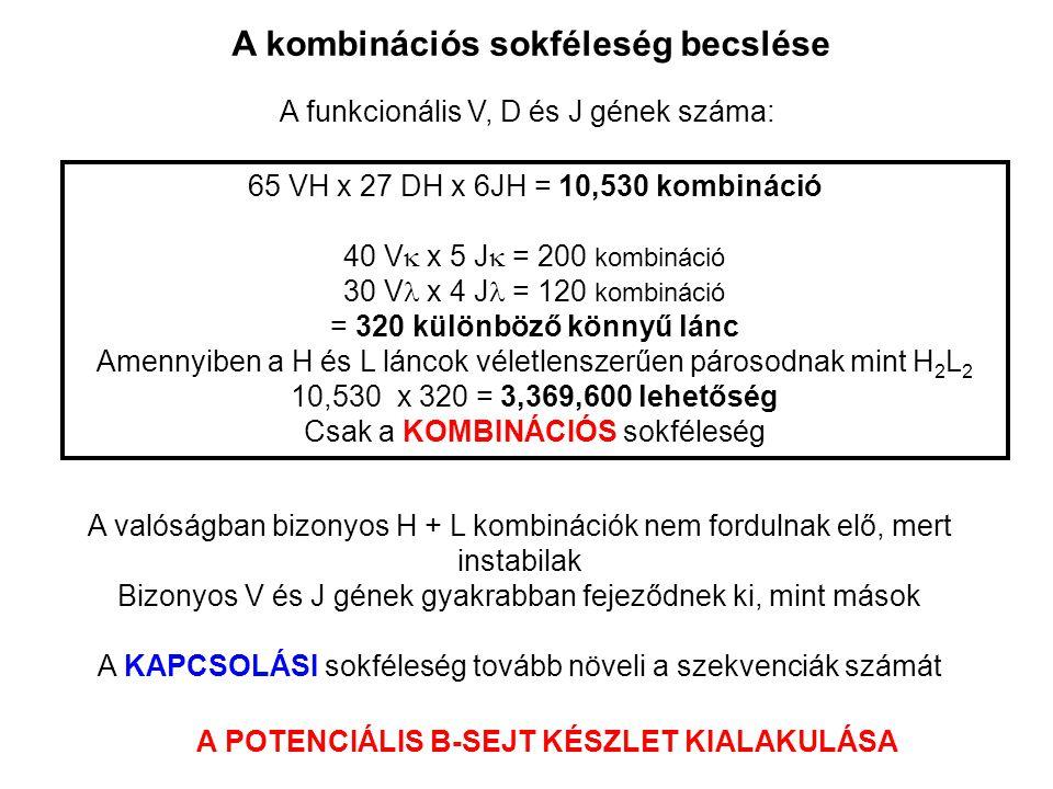 A kombinációs sokféleség becslése A funkcionális V, D és J gének száma: 65 VH x 27 DH x 6JH = 10,530 kombináció 40 V  x 5 J  = 200 kombináció 30 V  x 4 J = 120 kombináció = 320 különböző könnyű lánc Amennyiben a H és L láncok véletlenszerűen párosodnak mint H 2 L 2 10,530 x 320 = 3,369,600 lehetőség Csak a KOMBINÁCIÓS sokféleség A valóságban bizonyos H + L kombinációk nem fordulnak elő, mert instabilak Bizonyos V és J gének gyakrabban fejeződnek ki, mint mások A KAPCSOLÁSI sokféleség tovább növeli a szekvenciák számát A POTENCIÁLIS B-SEJT KÉSZLET KIALAKULÁSA