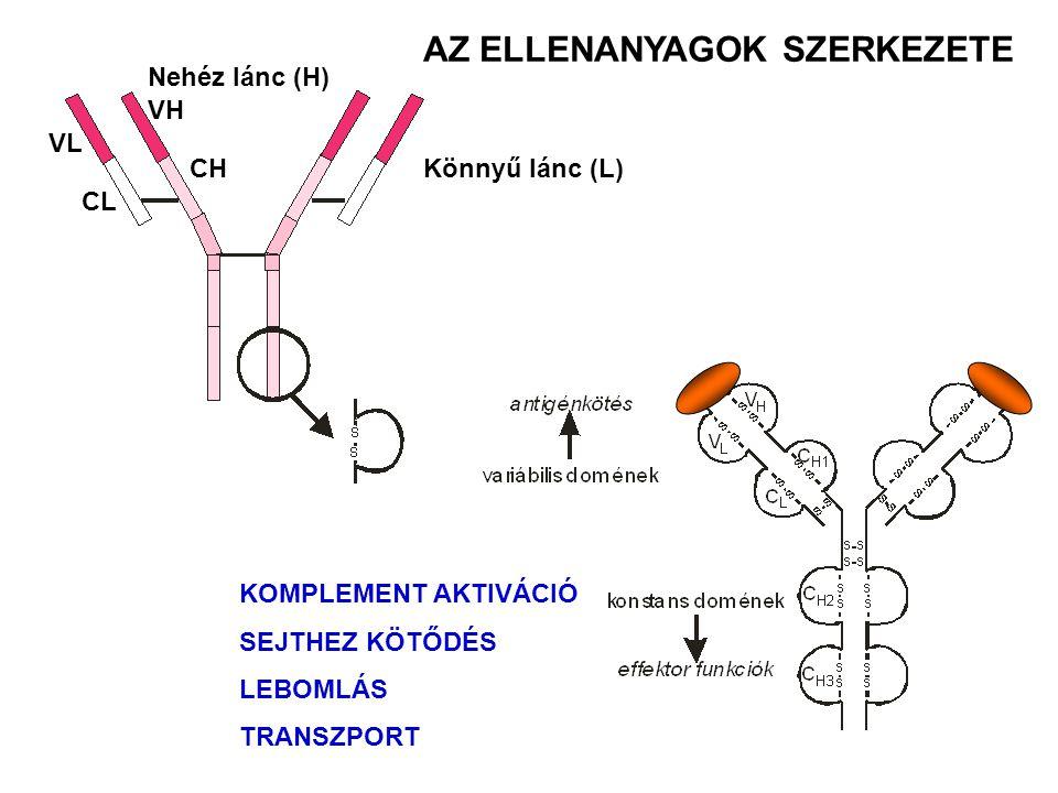 AZ ELLENANYAGOK SZERKEZETE KOMPLEMENT AKTIVÁCIÓ SEJTHEZ KÖTŐDÉS LEBOMLÁS TRANSZPORT Könnyű lánc (L) Nehéz lánc (H) VL CL VH CH