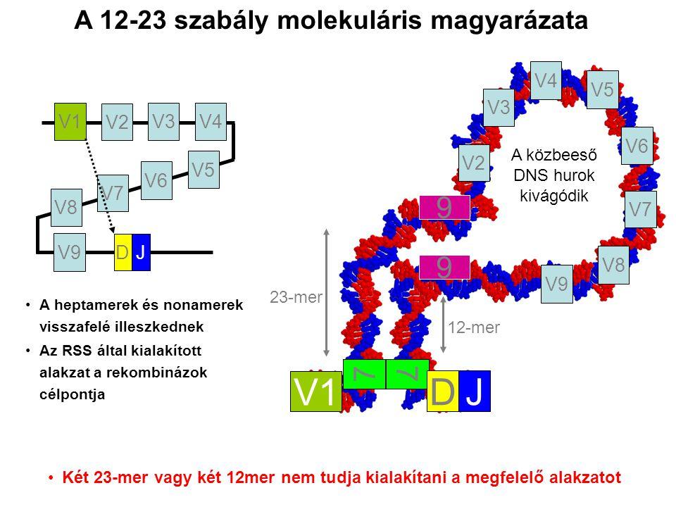 23-mer 12-mer A közbeeső DNS hurok kivágódik A heptamerek és nonamerek visszafelé illeszkednek Az RSS által kialakított alakzat a rekombinázok célpontja 7 9 9 7 V1 V2 V3V4 V8 V7 V6 V5 V9 DJ V1 DJ V2 V3 V4 V8 V7 V6 V5 V9 Két 23-mer vagy két 12mer nem tudja kialakítani a megfelelő alakzatot A 12-23 szabály molekuláris magyarázata