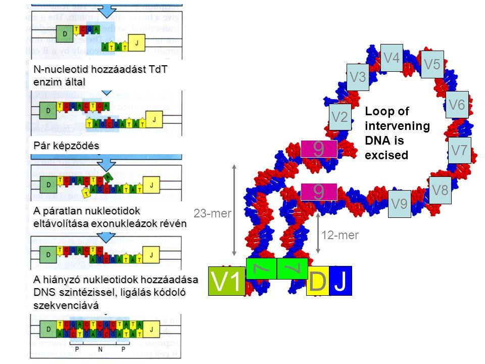 23-mer 12-mer Loop of intervening DNA is excised V1 DJ V2 V3 V4 V8 V7 V6 V5 V9 7 9 9 7 N-nucleotid hozzáadást TdT enzim által A páratlan nukleotidok eltávolítása exonukleázok révén A hiányzó nukleotidok hozzáadása DNS szintézissel, ligálás kódoló szekvenciává Pár képződés