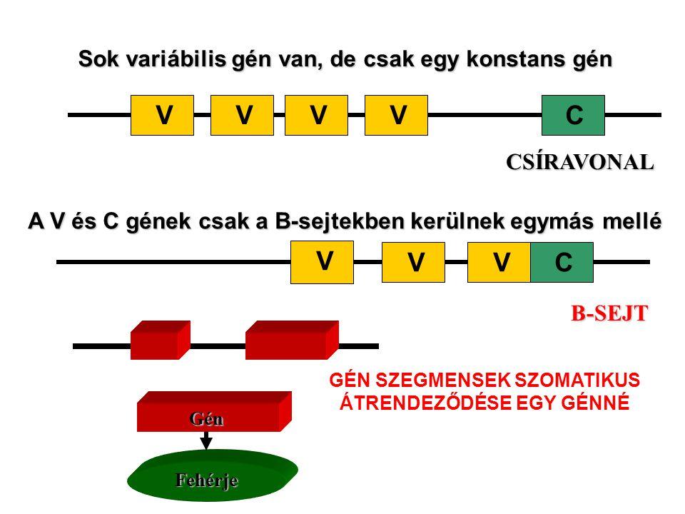 Sok variábilis gén van, de csak egy konstans gén VCVVV CSÍRAVONAL A V és C gének csak a B-sejtekben kerülnek egymás mellé C V VV B-SEJT Fehérje GénGénGénGén GÉN SZEGMENSEK SZOMATIKUS ÁTRENDEZŐDÉSE EGY GÉNNÉ