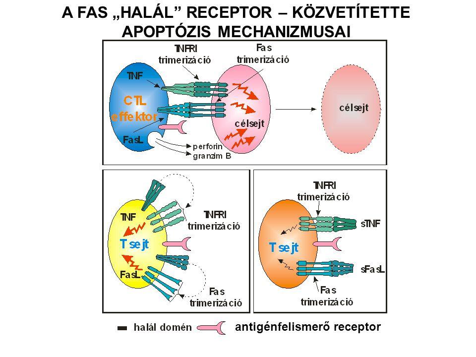 """A FAS """"HALÁL"""" RECEPTOR – KÖZVETÍTETTE APOPTÓZIS MECHANIZMUSAI antigénfelismerő receptor"""