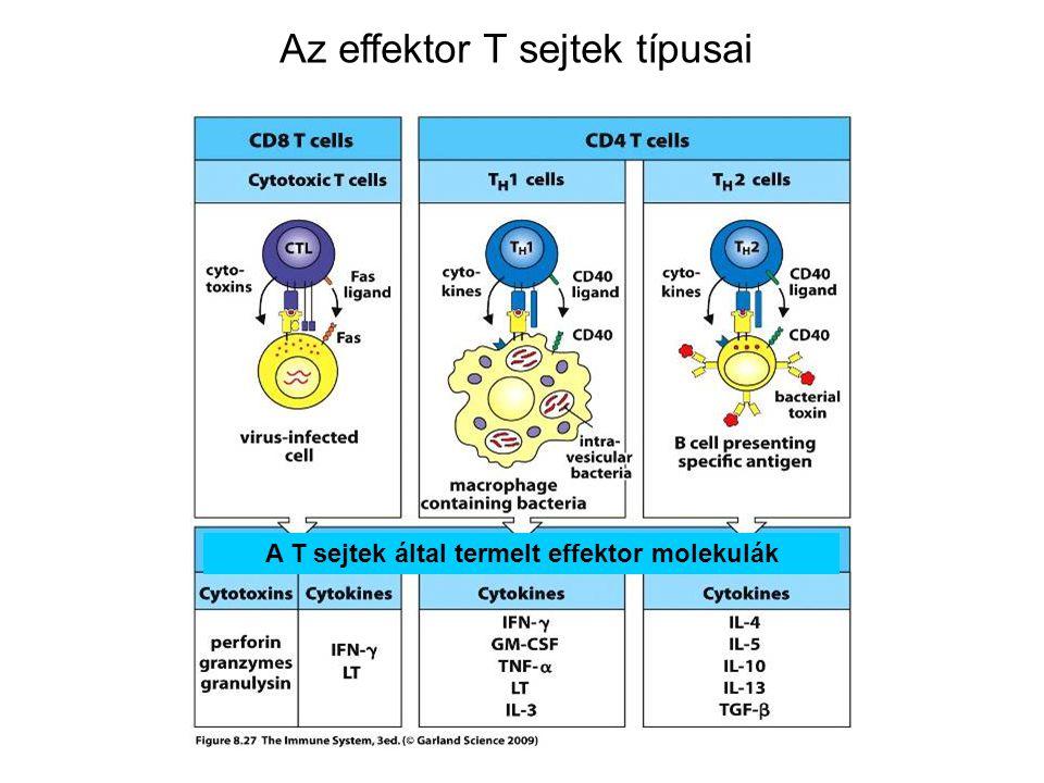 EFFEKTOR T LIMFOCITÁK SEGÍTŐ T LIMFOCITÁK CD4+ T SEJTEK Hivatásos APC CD4+ segítő T sejt Th1 vagy Th2