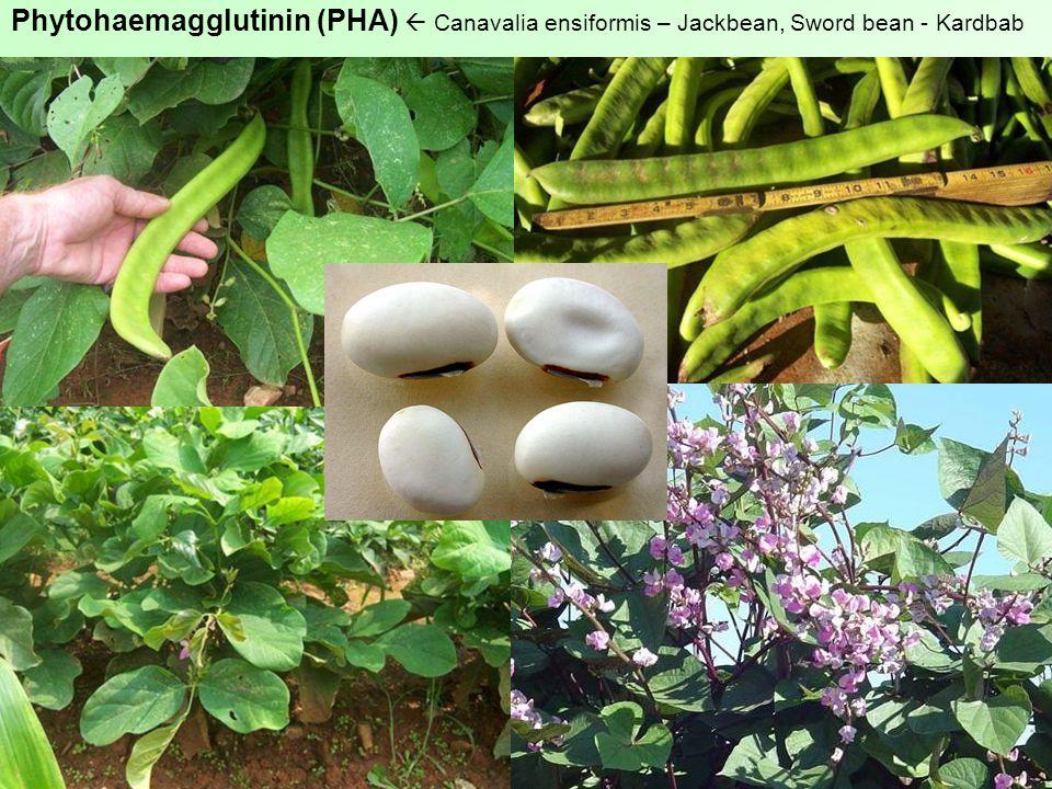 Phytohaemagglutinin (PHA)  Canavalia ensiformis – Jackbean, Sword bean - Kardbab