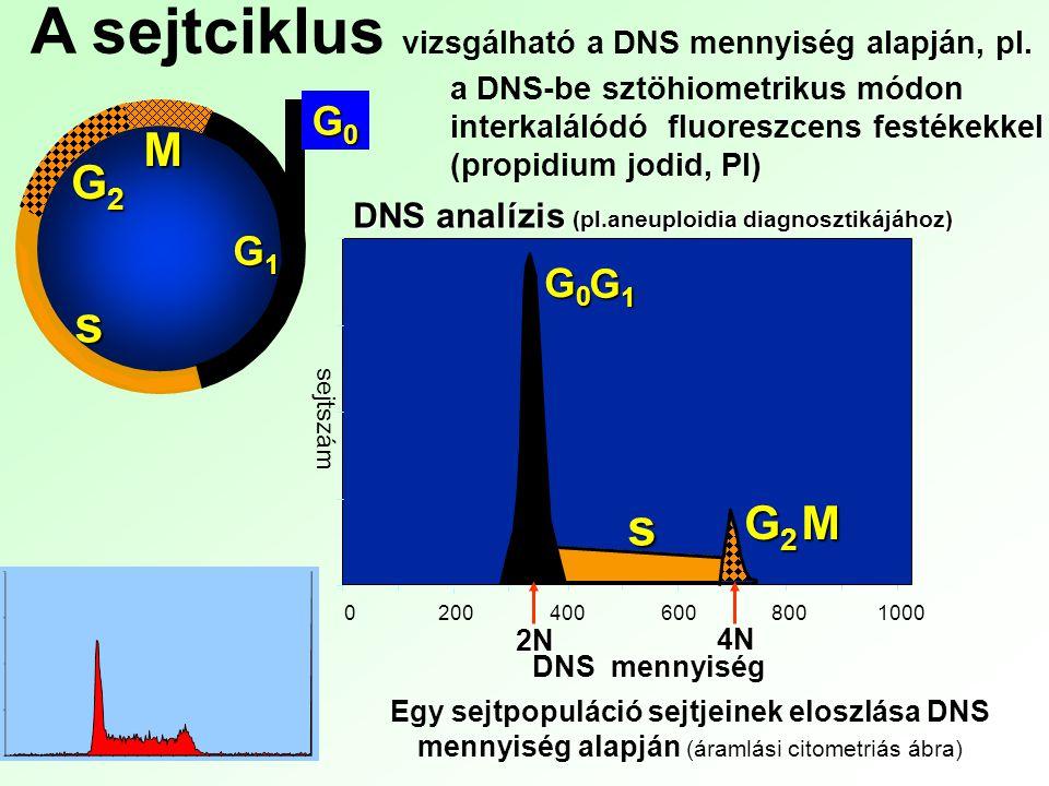 G2G2G2G2 M G0G0G0G0 G1G1G1G1 s 0 200 400 600 8001000 G0G0G0G0 G1G1G1G1 s G2G2G2G2M DNS analízis (pl.aneuploidia diagnosztikájához) DNS mennyiség sejts