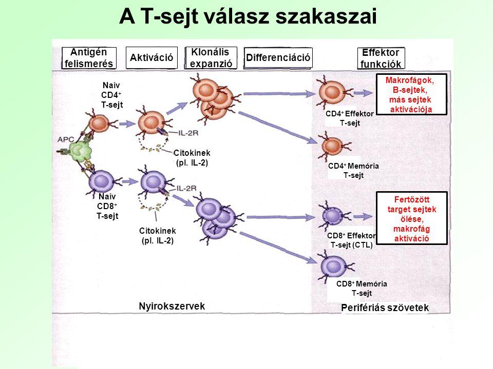 B-sejt receptor komplex általi jelátvitel Membrán Ig keresztkötése antigénnel Tirozin foszforiláció Biokémiai intermedierek Aktív enzimek Transzkripciós faktorok PLC  aktiváció Emelkedett ic Ca 2+ Ca 2+ dependens enzimek Diacilglicerol GTP/GDP csere a Ras-on, Rac-on
