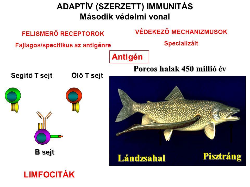 Lándzsahal Pisztráng Porcos halak 450 millió év ADAPTÍV (SZERZETT) IMMUNITÁS Második védelmi vonal Antigén B sejt Segítő T sejt Ölő T sejt LIMFOCITÁK FELISMERŐ RECEPTOROK Fajlagos/specifikus az antigénre VÉDEKEZŐ MECHANIZMUSOK Specializált