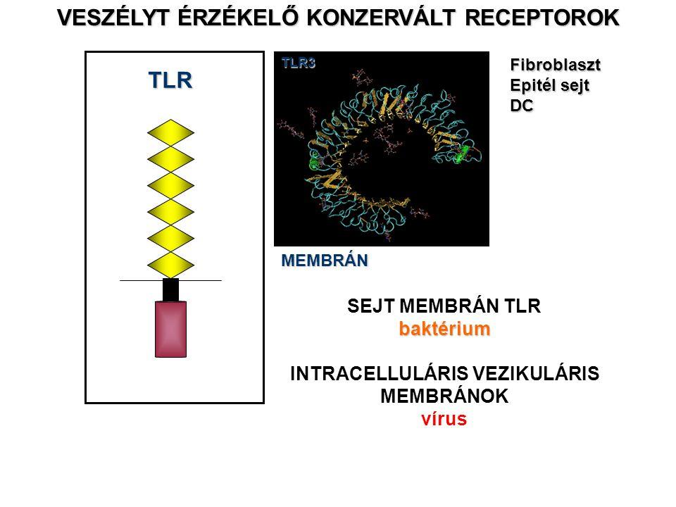 TLR VESZÉLYT ÉRZÉKELŐ KONZERVÁLT RECEPTOROK MEMBRÁNTLR3Fibroblaszt Epitél sejt DC SEJT MEMBRÁN TLRbaktérium INTRACELLULÁRIS VEZIKULÁRIS MEMBRÁNOK vírus