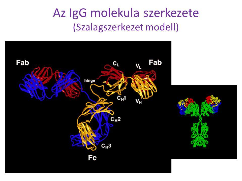 Az IgG molekula szerkezete (Szalagszerkezet modell)