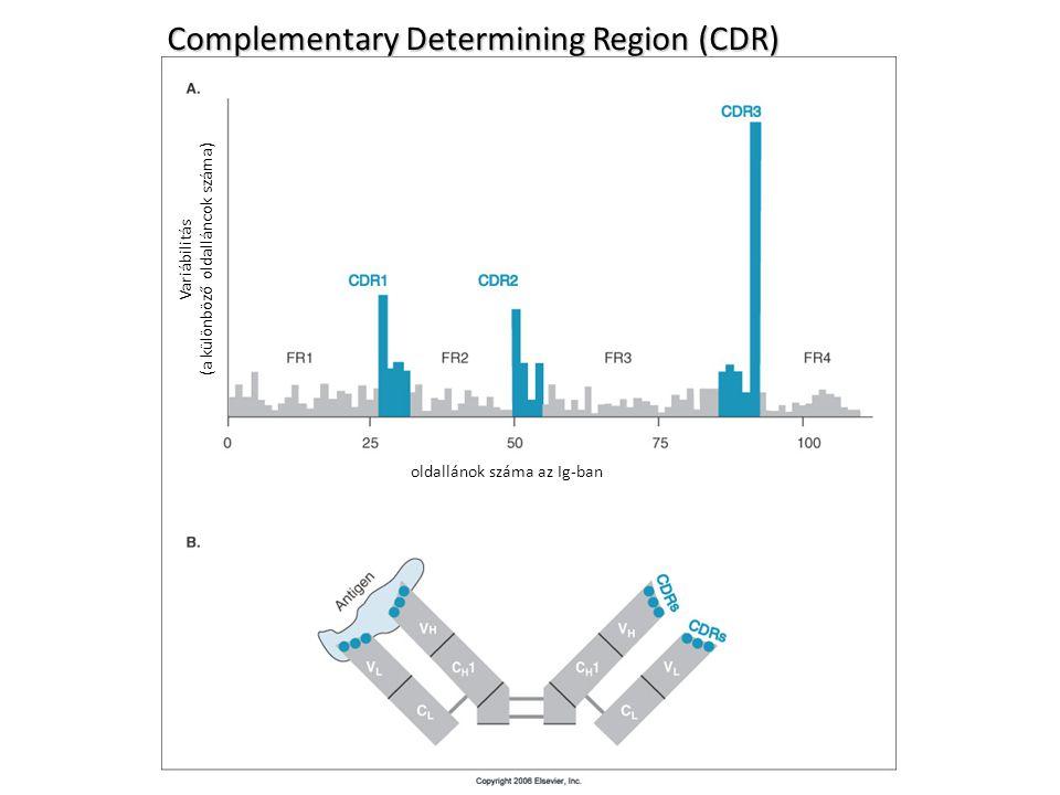 Complementary Determining Region (CDR) oldallánok száma az Ig-ban Variábilitás (a különböző oldalláncok száma)