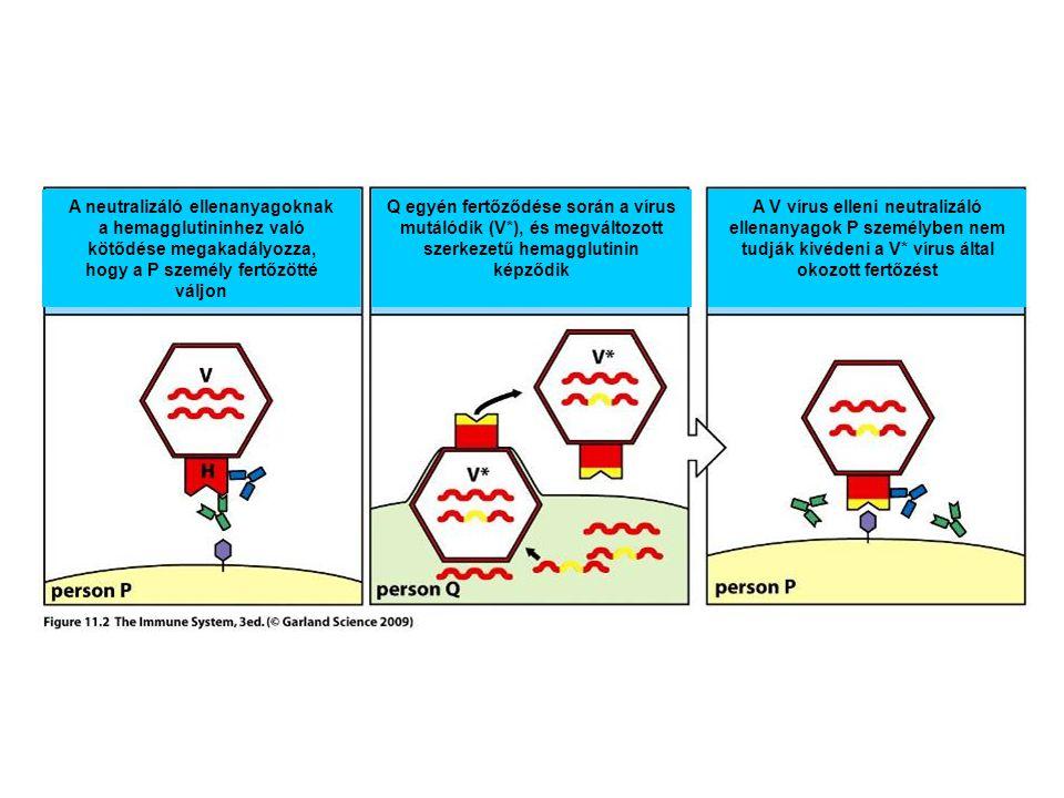 A neutralizáló ellenanyagoknak a hemagglutininhez való kötődése megakadályozza, hogy a P személy fertőzötté váljon Q egyén fertőződése során a vírus mutálódik (V*), és megváltozott szerkezetű hemagglutinin képződik A V vírus elleni neutralizáló ellenanyagok P személyben nem tudják kivédeni a V* vírus által okozott fertőzést