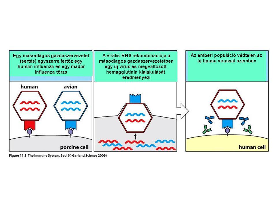 Egy másodlagos gazdaszervezetet (sertés) egyszerre fertőz egy humán influenza és egy madár influenza törzs A virális RNS rekombinációja a másodlagos gazdaszervezetetben egy új vírus és megváltozott hemagglutinin kialakulását eredményezi Az emberi populáció védtelen az új típusú vírussal szemben