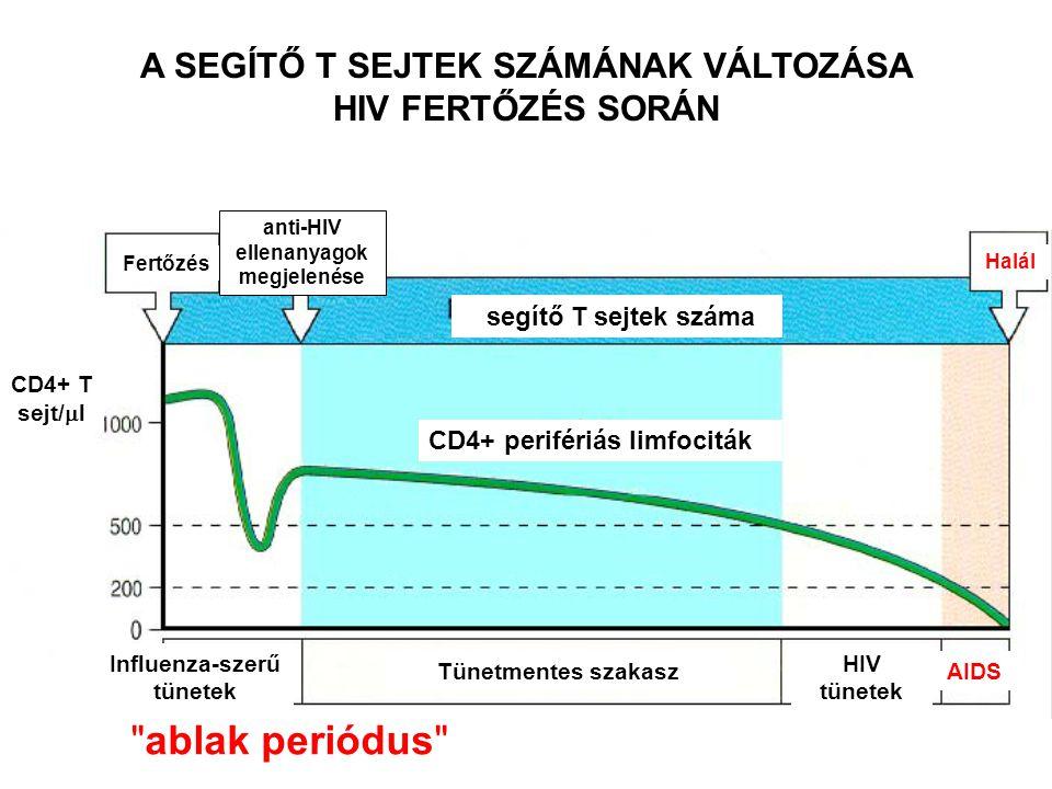 A SEGÍTŐ T SEJTEK SZÁMÁNAK VÁLTOZÁSA HIV FERTŐZÉS SORÁN Fertőzés anti-HIV ellenanyagok megjelenése segítő T sejtek száma Halál CD4+ perifériás limfociták Influenza-szerű tünetek Tünetmentes szakasz HIV tünetek AIDS CD4+ T sejt/  l ablak periódus