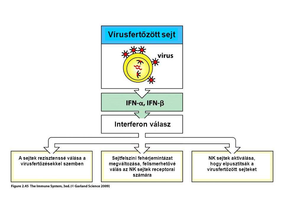 Vírusfertőzött sejt NK sejtek aktiválása, hogy elpusztítsák a vírusfertőzött sejteket Sejtfelszíni fehérjemintázat megváltozása, felismerhetővé válás az NK sejtek receptorai számára A sejtek rezisztenssé válása a vírusfertőzésekkel szemben Interferon válasz