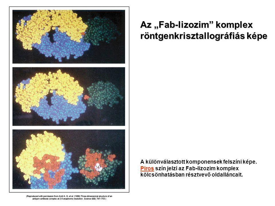 """Az """"Fab-lizozim"""" komplex röntgenkrisztallográfiás képe A különválasztott komponensek felszíni képe. Piros Piros szín jelzi az Fab-lizozim komplex kölc"""