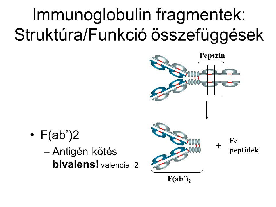 Pepszin Fc peptidek F(ab') 2 Immunoglobulin fragmentek: Struktúra/Funkció összefüggések F(ab')2 –Antigén kötés bivalens! valencia=2 +