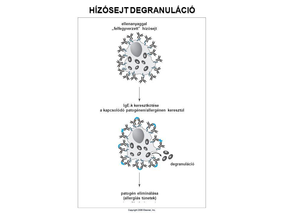 """HÍZÓSEJT DEGRANULÁCIÓ ellenanyaggal """"felfegyverzett"""" hízósejt IgE-k keresztkötése a kapcsolódó patogénen/allergénen keresztül patogén eliminálása (all"""