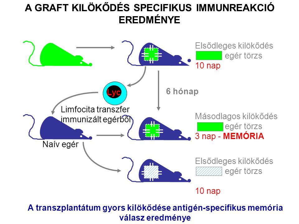 AZ ALLO-REAKTÍV IMMUNVÁLASZ A TRANSZPLANTÁCIÓS ANTIGÉNEK ELLEN IRÁNYUL –A fő transzplantációs antigéneket a klasszikus MHC gének kódolják –A minor transzplantációs antigéneket bármely polimorf gén kódolhatja –A vércsoport antigének szövet specifikus transzplantációs antigének A T SEJTEK A SAJÁT MHC ALLOTÍPUSOK JELENLÉTÉBEN NEVELŐDNEK A NEM SAJÁT, IDEGEN MHC ALLOTÍPUSOKAT A T LIMFOCITÁK IDEGENKÉNT ISMERIK FEL A NEM KOMPATIBILIS SZÖVET KILÖKŐDÉSÉT ELSŐSORBAN A T SEJTES IMMUNVÁLASZ VÁLTJA KI (SEJTES REAKCIÓ) AZ NK SEJTEK ÉS AZ ELLENANYAGOK ÁLTAL KÖZVETÍTETT EFFEKTOR FUNKCIÓK IS RÉSZT VESZNEK A KILÖKŐDÉSI REAKCIÓBAN TRANSZPLANTÁCIÓS IMMUNOLÓGIA