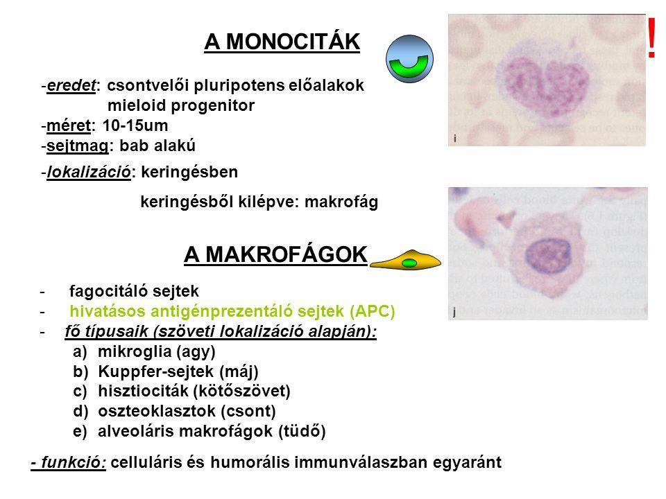 A MONOCITÁK -eredet: csontvelői pluripotens előalakok mieloid progenitor -méret: 10-15um -sejtmag: bab alakú -lokalizáció: keringésben keringésből kil