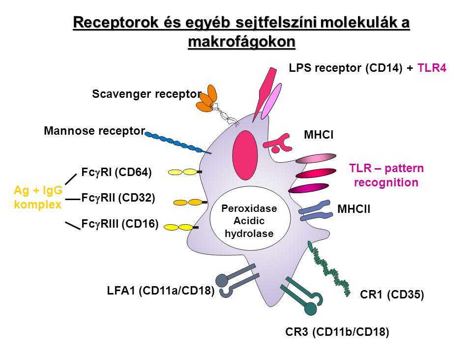 Receptorok és egyéb sejtfelszíni molekulák a makrofágokon LPS receptor (CD14) + TLR4 MHCI MHCII TLR – pattern recognition CR1 (CD35) CR3 (CD11b/CD18)