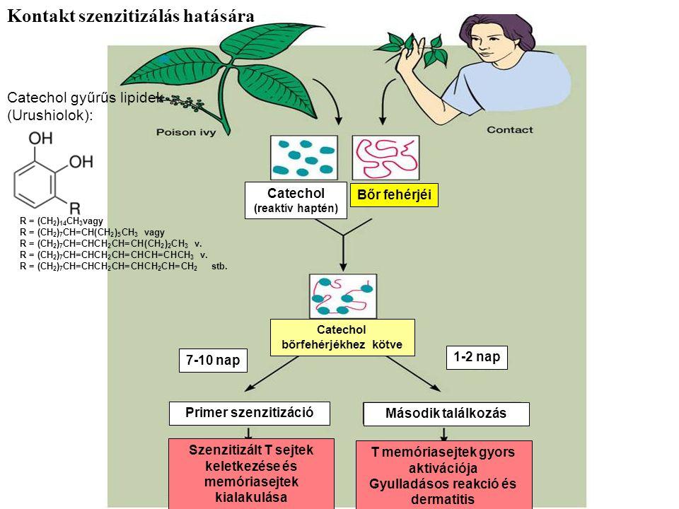 Catechol (reaktív haptén) Bőr fehérjéi Catechol bőrfehérjékhez kötve 7-10 nap 1-2 nap Primer szenzitizáció Második találkozás T memóriasejtek gyors aktivációja Gyulladásos reakció és dermatitis Szenzitizált T sejtek keletkezése és memóriasejtek kialakulása R = (CH 2 ) 14 CH 3 vagy R = (CH 2 ) 7 CH=CH(CH 2 ) 5 CH 3 vagy R = (CH 2 ) 7 CH=CHCH 2 CH=CH(CH 2 ) 2 CH 3 v.