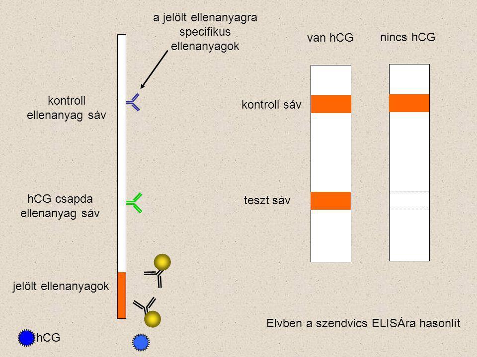 hCG csapda ellenanyag sáv kontroll ellenanyag sáv jelölt ellenanyagok hCG kontroll sáv teszt sáv van hCG nincs hCG a jelölt ellenanyagra specifikus ellenanyagok Elvben a szendvics ELISÁra hasonlít