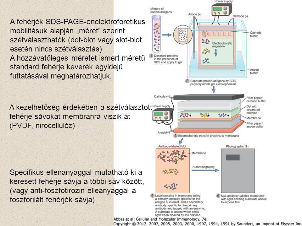"""A fehérjék SDS-PAGE-enelektroforetikus mobilitásuk alapján """"méret szerint szétválaszthatók (dot-blot vagy slot-blot esetén nincs szétválasztás) A hozzávatőleges méretet ismert méretű standard fehérje keverék egyidejű futtatásával meghatározhatjuk."""