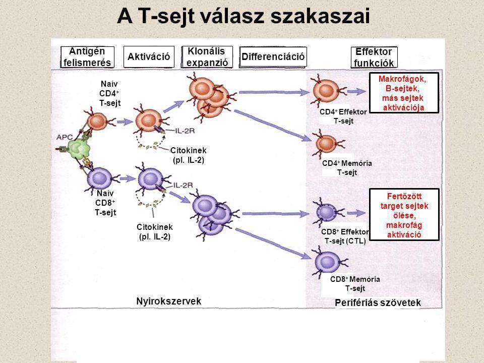A T-sejt válasz szakaszai Antigén felismerés Klonális expanzió Differenciáció Effektor funkciók Naív CD8 + T-sejt Naív CD4 + T-sejt Citokinek (pl.