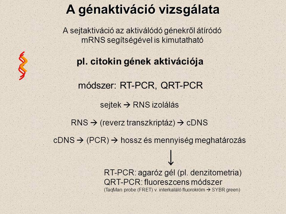 módszer: RT-PCR, QRT-PCR A génaktiváció vizsgálata A sejtaktiváció az aktiválódó génekről átíródó mRNS segítségével is kimutatható pl.