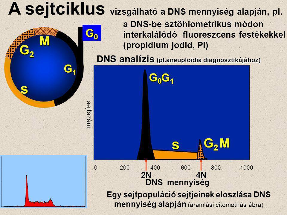 G2G2G2G2 M G0G0G0G0 G1G1G1G1 s 0 200 400 600 8001000 G0G0G0G0 G1G1G1G1 s G2G2G2G2M DNS analízis (pl.aneuploidia diagnosztikájához) DNS mennyiség sejtszám 2N 4N A sejtciklus vizsgálható a DNS mennyiség alapján, pl.