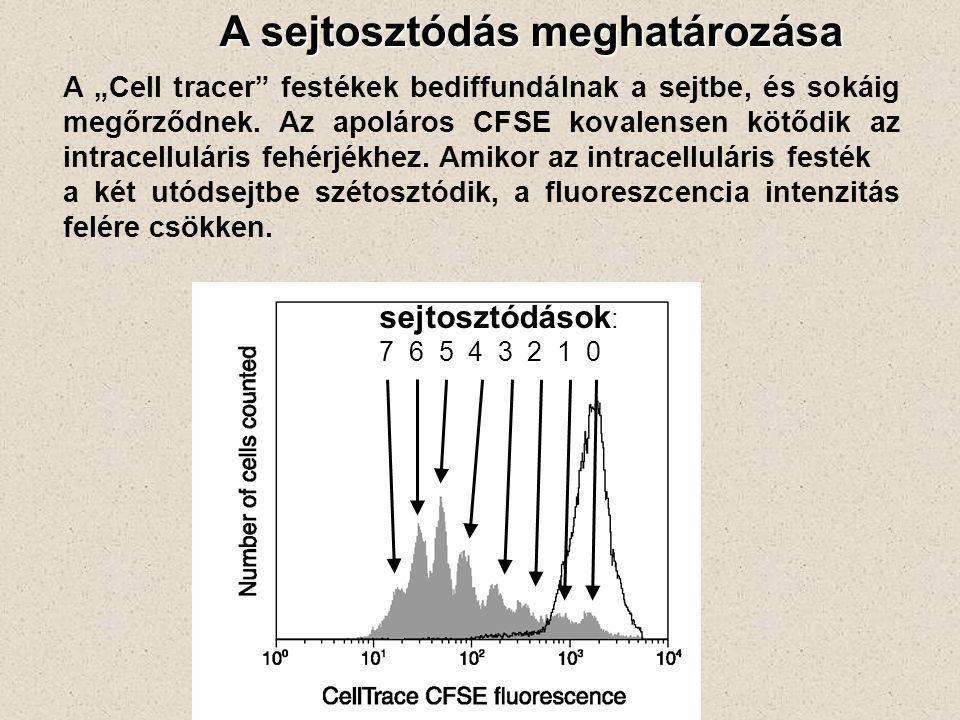 """A sejtosztódás meghatározása A """"Cell tracer"""" festékek bediffundálnak a sejtbe, és sokáig megőrződnek. Az apoláros CFSE kovalensen kötődik az intracell"""