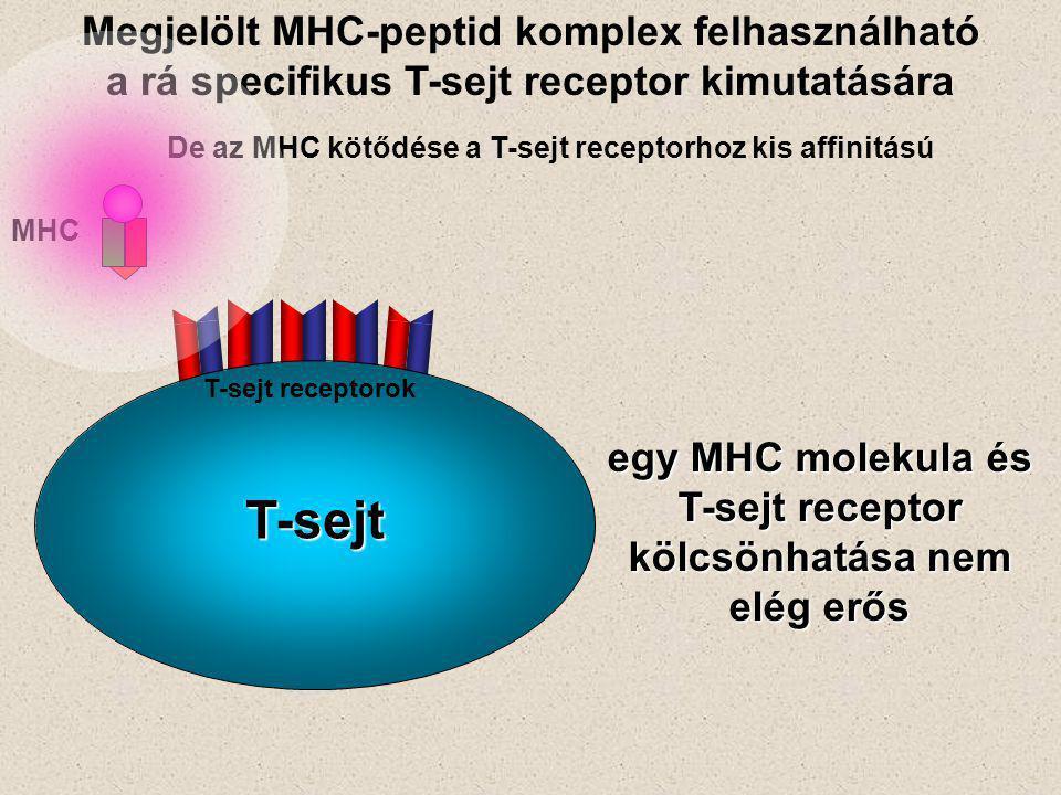 De az MHC kötődése a T-sejt receptorhoz kis affinitású egy MHC molekula és T-sejt receptor kölcsönhatása nem elég erős Megjelölt MHC-peptid komplex felhasználható a rá specifikus T-sejt receptor kimutatására MHC T-sejt receptorok T-sejt