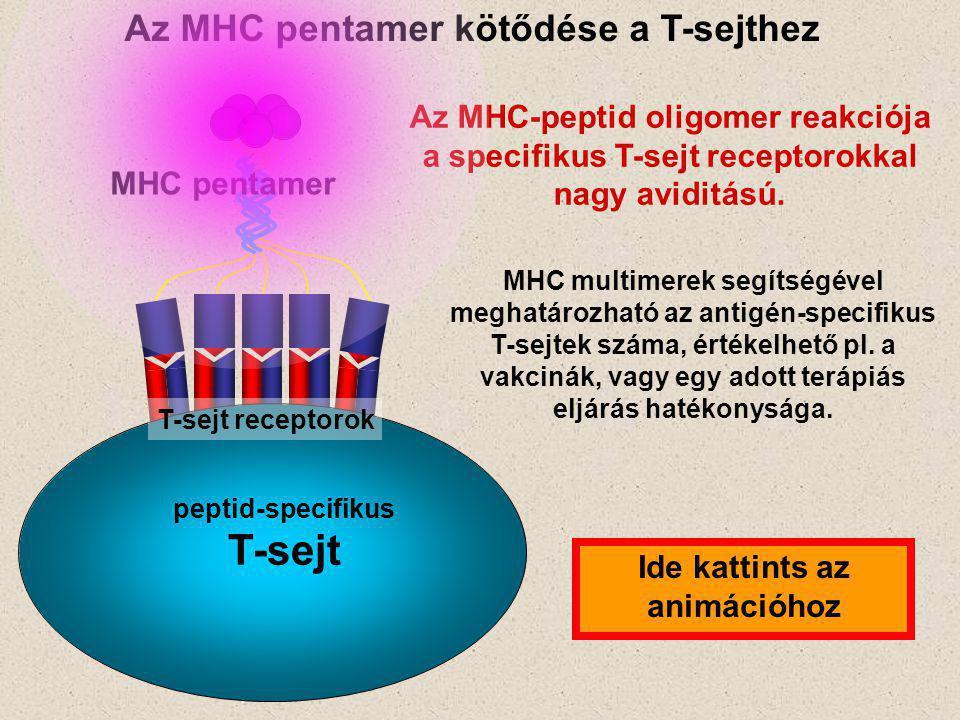peptid-specifikus T-sejt MHC pentamer Az MHC pentamer kötődése a T-sejthez Az MHC-peptid oligomer reakciója a specifikus T-sejt receptorokkal nagy aviditású.