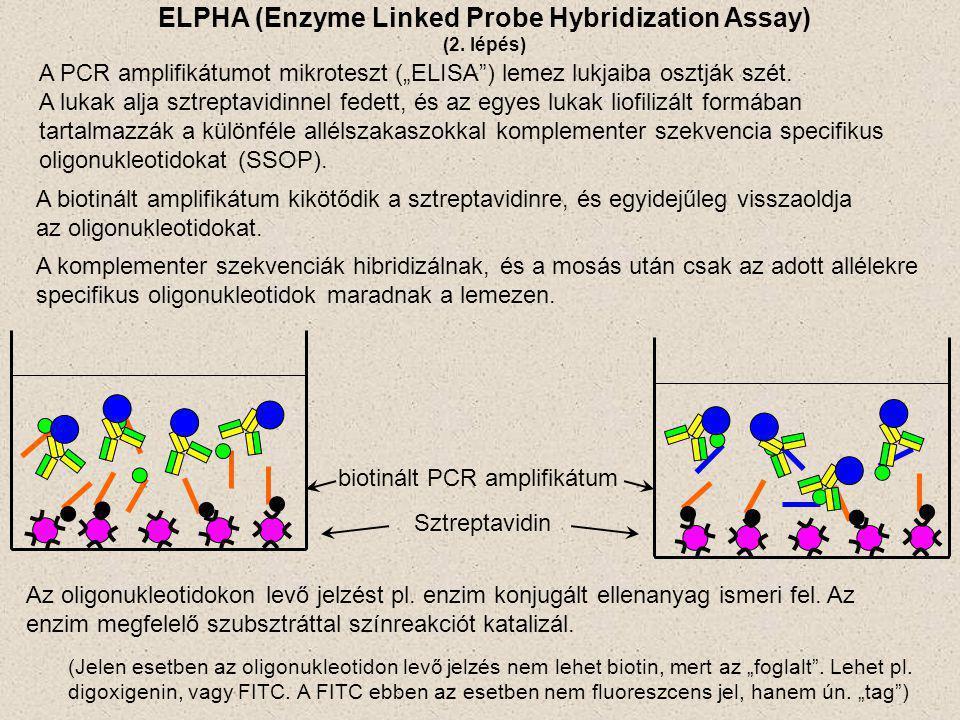 """A PCR amplifikátumot mikroteszt (""""ELISA"""") lemez lukjaiba osztják szét. A lukak alja sztreptavidinnel fedett, és az egyes lukak liofilizált formában ta"""
