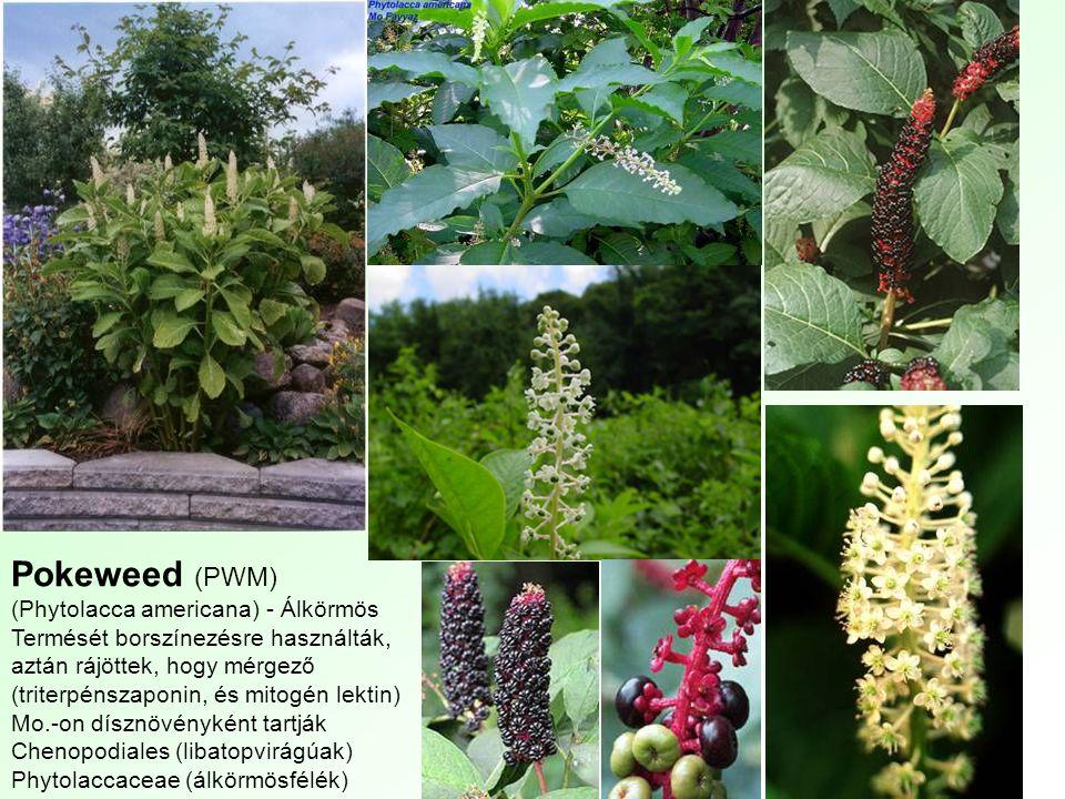 Pokeweed (PWM) (Phytolacca americana) - Álkörmös Termését borszínezésre használták, aztán rájöttek, hogy mérgező (triterpénszaponin, és mitogén lektin