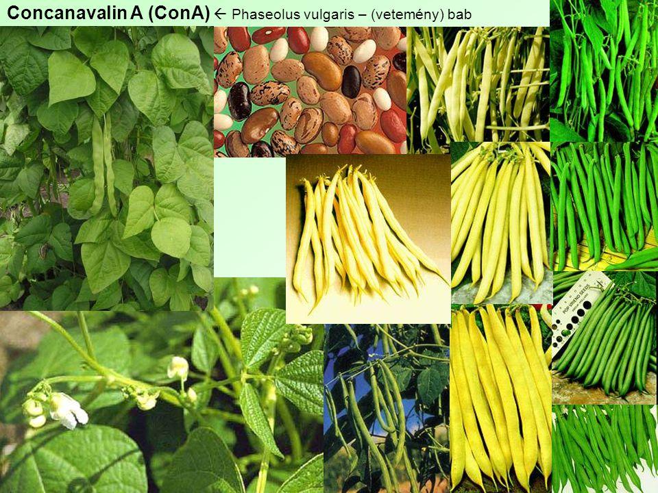 Concanavalin A (ConA)  Phaseolus vulgaris – (vetemény) bab