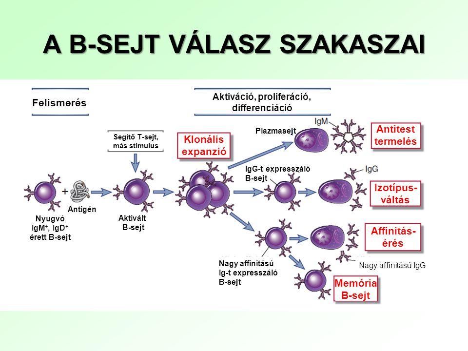 A T-SEJT VÁLASZ SZAKASZAI Nyirokszervek Perifériás szövetek FelismerésDifferenciáció Effektor funkciók Aktiváció Klonális expanzió Makrofágok, B-sejtek, egyéb sejtek aktiválása; gyulladás Fertőzött sejtek elpusztítása; makrofágok aktiválása