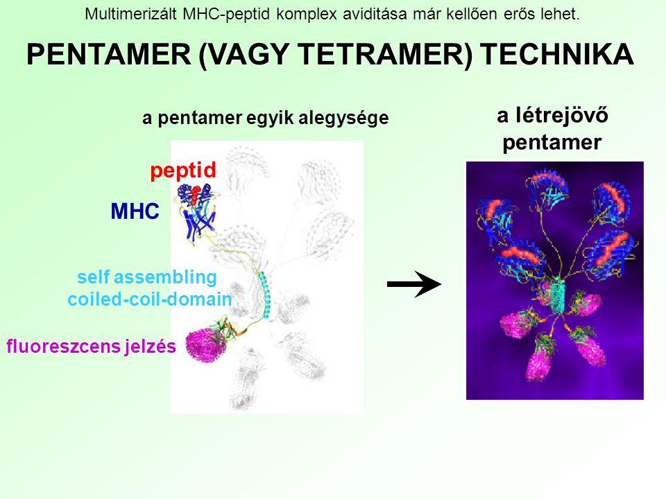 PENTAMER (VAGY TETRAMER) TECHNIKA a létrejövő pentamer self assembling coiled-coil-domain MHC peptid fluoreszcens jelzés a pentamer egyik alegysége Mu