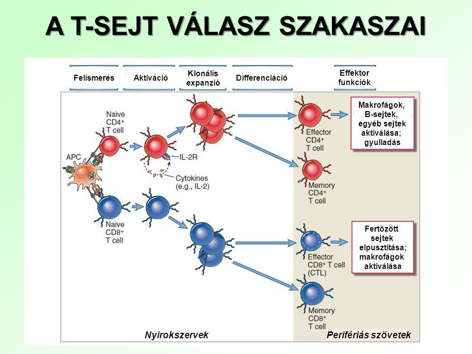 A T-SEJT VÁLASZ SZAKASZAI Nyirokszervek Perifériás szövetek FelismerésDifferenciáció Effektor funkciók Aktiváció Klonális expanzió Makrofágok, B-sejte