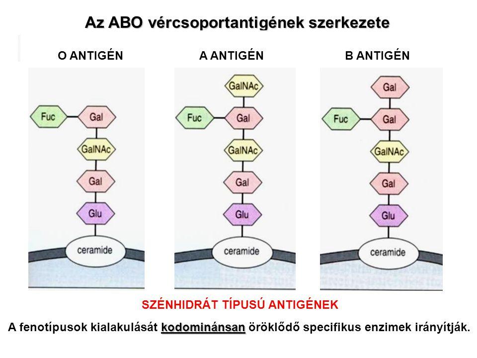 Az ABO vércsoportantigének szerkezete kodominánsan A fenotípusok kialakulását kodominánsan öröklődő specifikus enzimek irányítják. O ANTIGÉNA ANTIGÉNB
