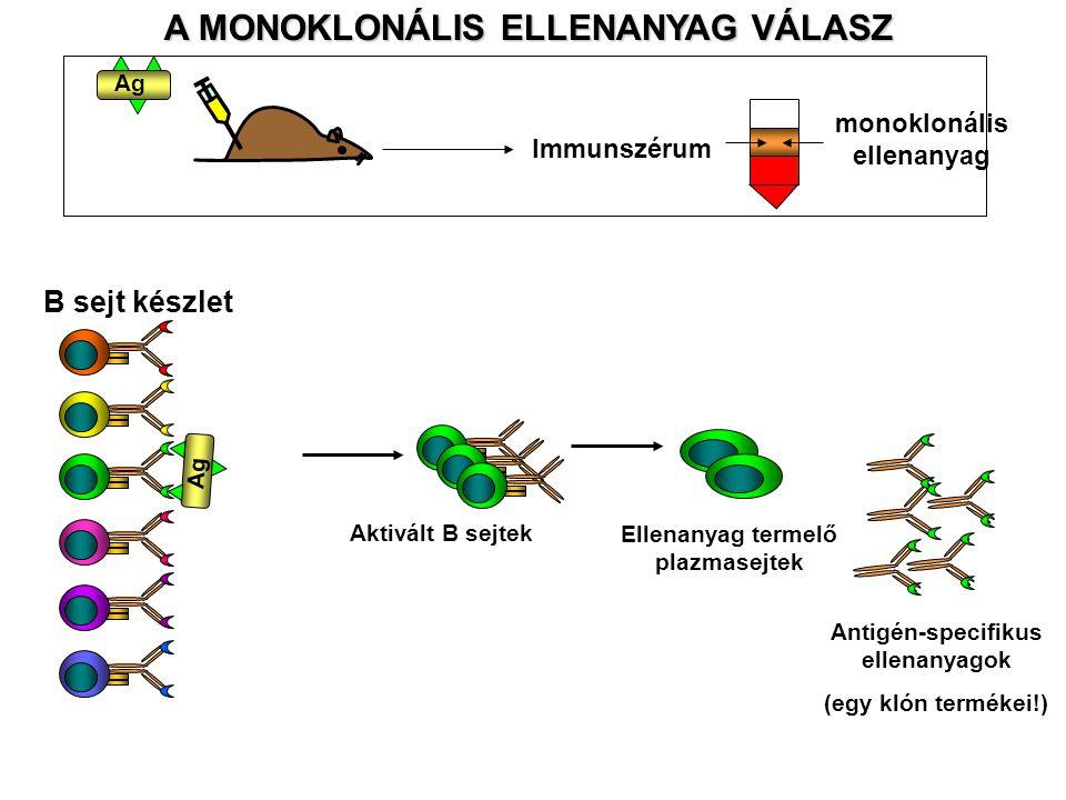 A MONOKLONÁLIS ELLENANYAG VÁLASZ Ag Immunszérum monoklonális ellenanyag B sejt készlet Aktivált B sejtek Ellenanyag termelő plazmasejtek Antigén-speci